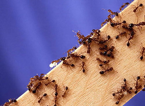 Как избавиться от красных муравьёв