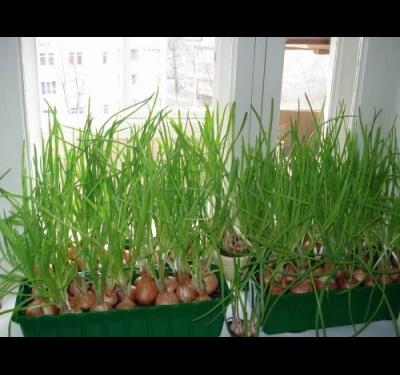 как посадить лук семенами дома