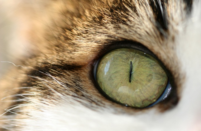 The eyes of a healthy cat should be clear and clean