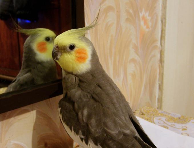 попугаи корелла можно ли научить говорить