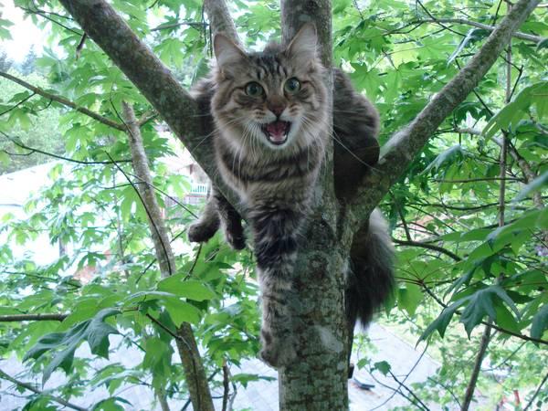 Засидевшуюся на дереве кошку обязательно следует достать