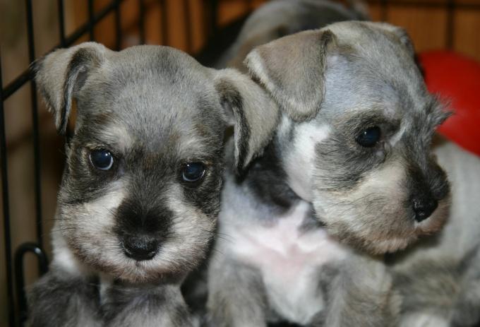Как продать щенков быстро