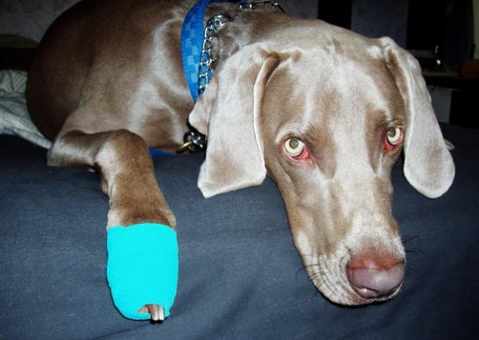Как лечить лапу собаке если она стерла лапу