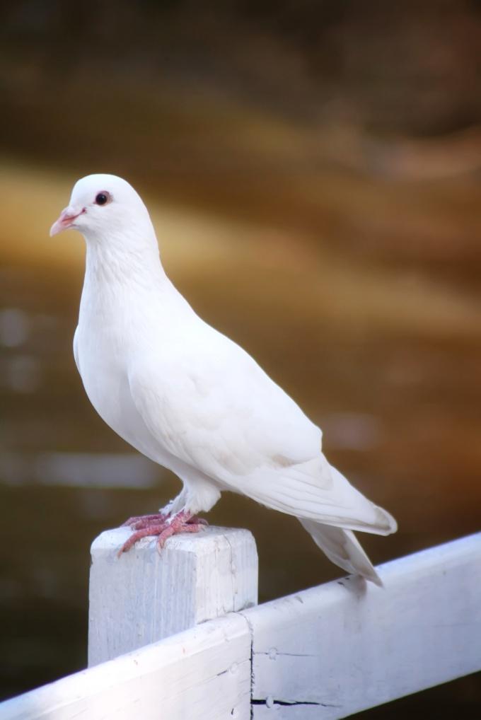 как узнать голубь или голубка