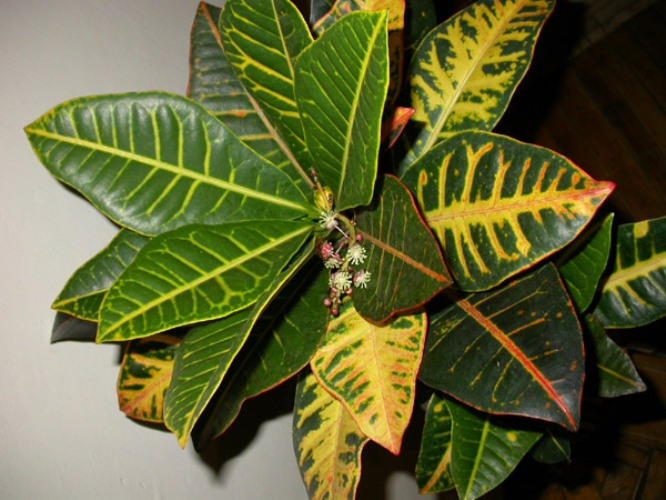 How to transplant Croton