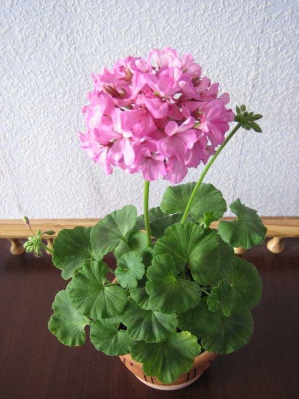 Как посадить комнатный цветок