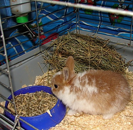 How to feed dwarf <strong>rabbit</strong>