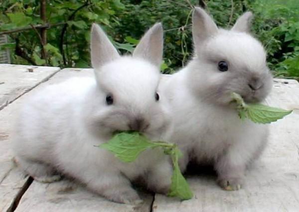 чем кормить карликовых кроликов