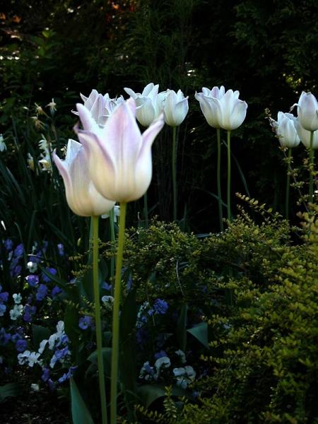 Как пересадить тюльпаны