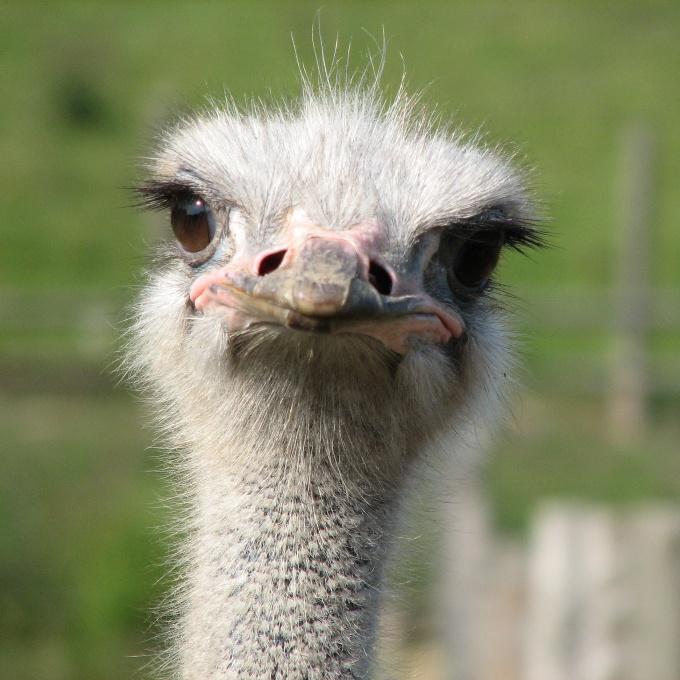 вырастить страуса дома