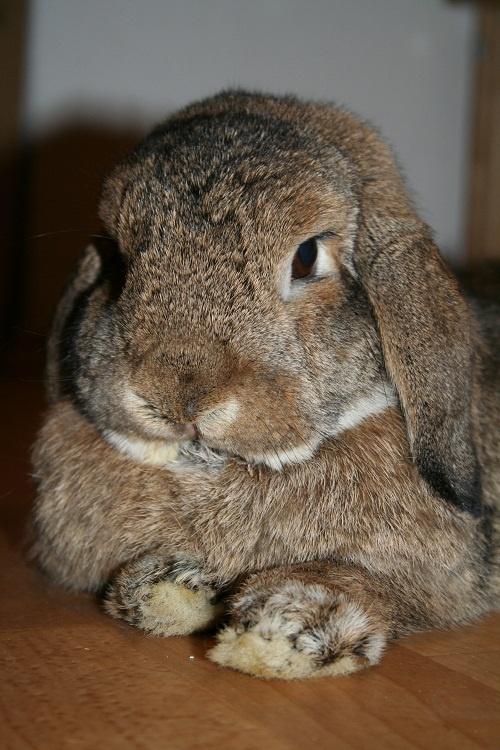 Как воспитывать кролика