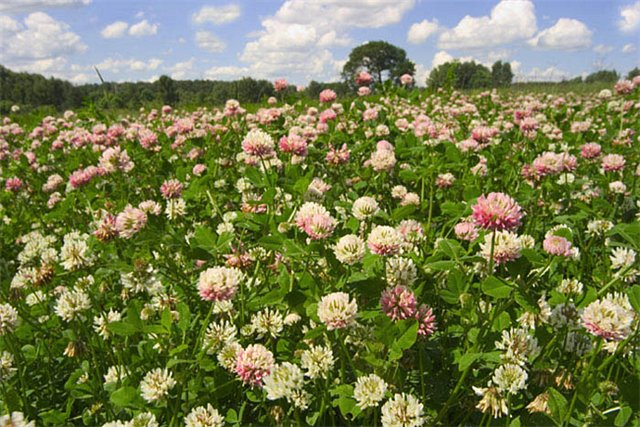How to sow clover