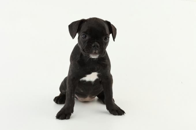 как вывести блох у маленького щенка