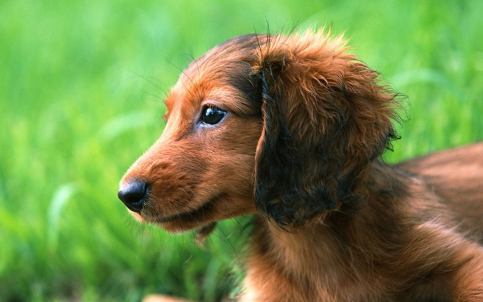 How to teach a Dachshund commands