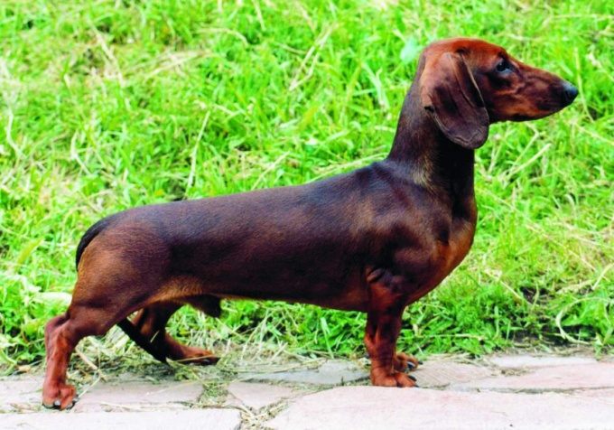 How to call a dog a Dachshund