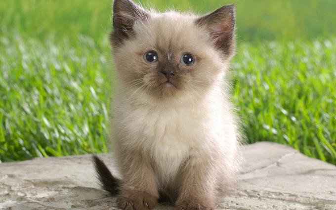 как перевести котёнка на сухой корм