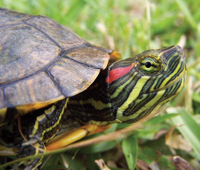 воспаление глаза у черепахи
