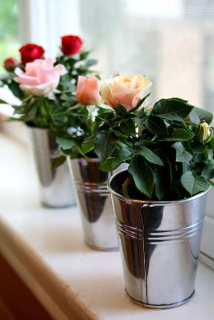 Как спасти комнатную розу