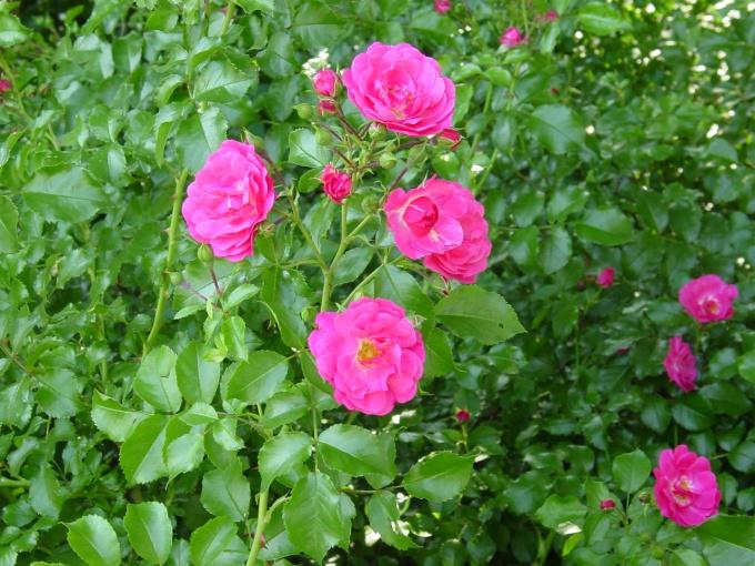 Выращивание шиповника на розы 221