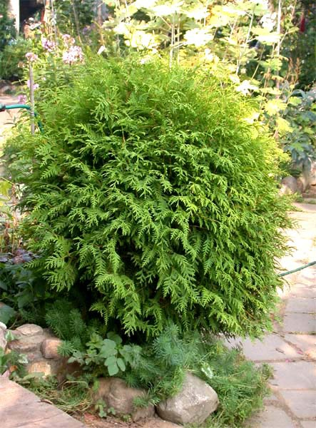 How to grow thuja sprouts