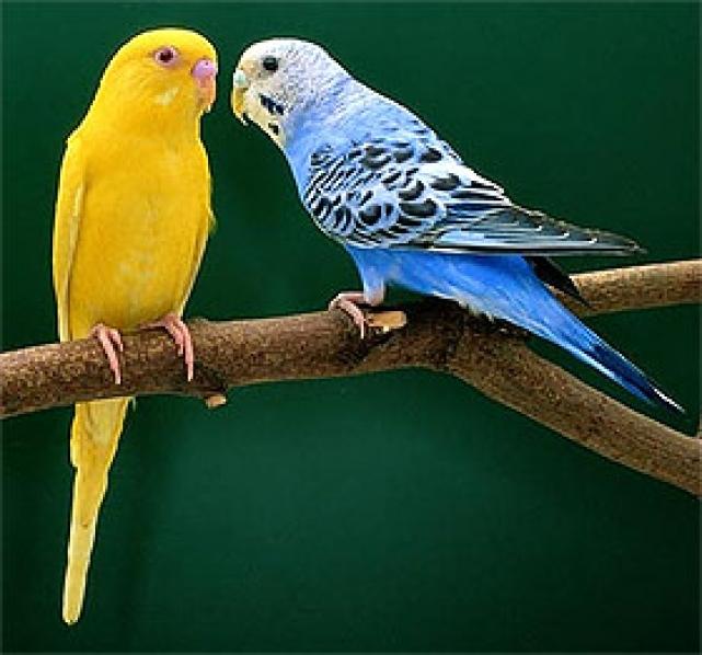 Как размножать попугаев
