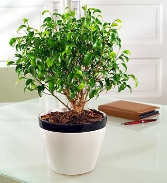 How to cure ficus