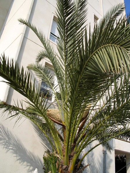 How to transplant date palm