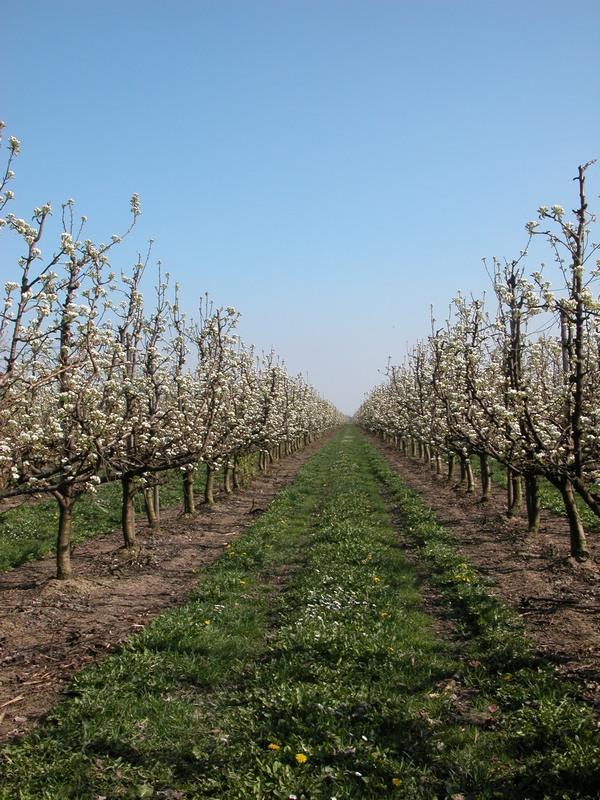 Как пересадить яблони