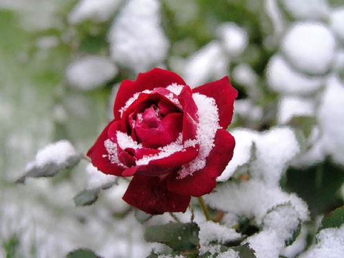Как сберечь розы зимой