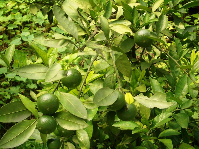 Как вырастить грейпфрут из косточки