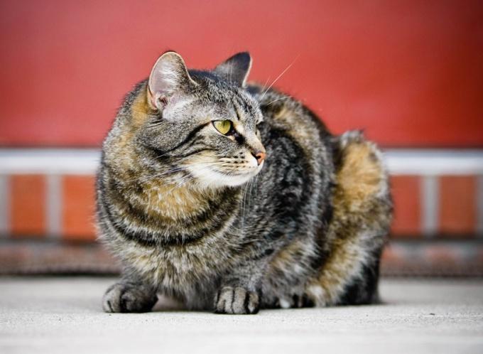 как измерить кошке температуру