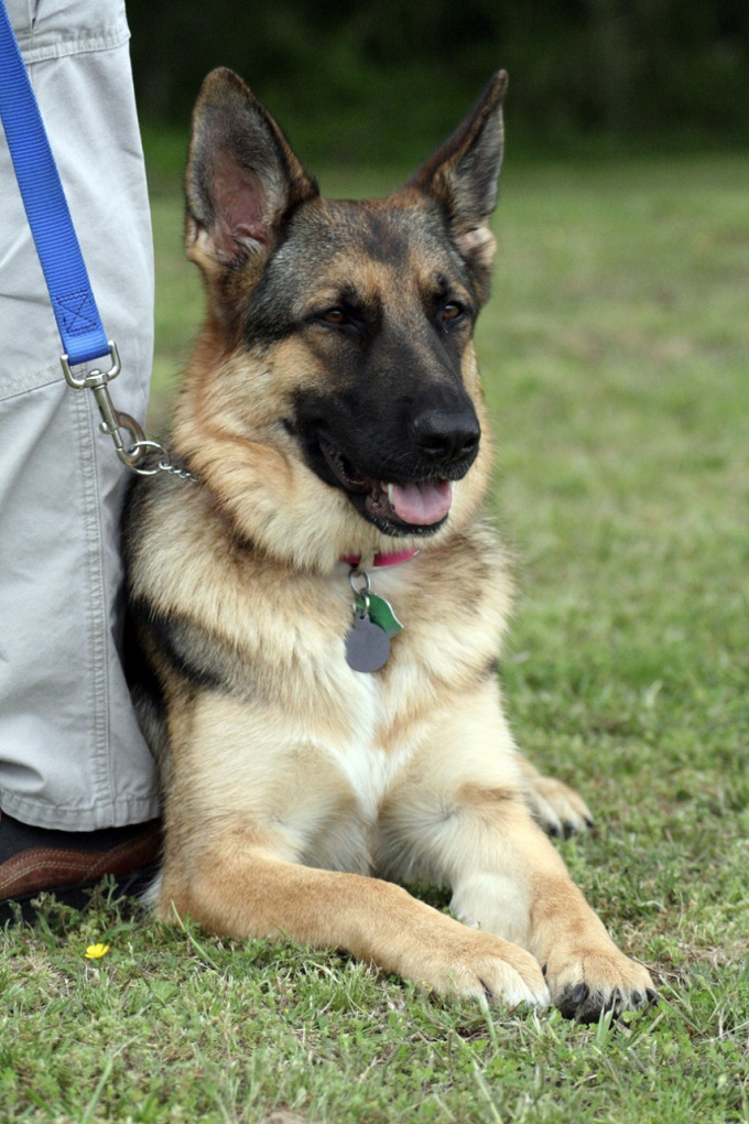 How to train a German shepherd commands