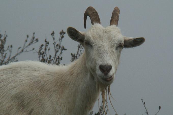 какие веники запасать козе