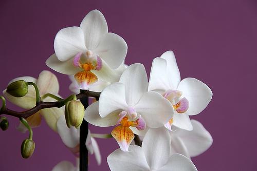 Как принудить цвести фаленопсис