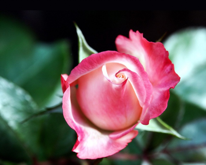 Как пересадить домашнюю розу