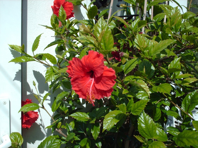 How to trim hibiscus