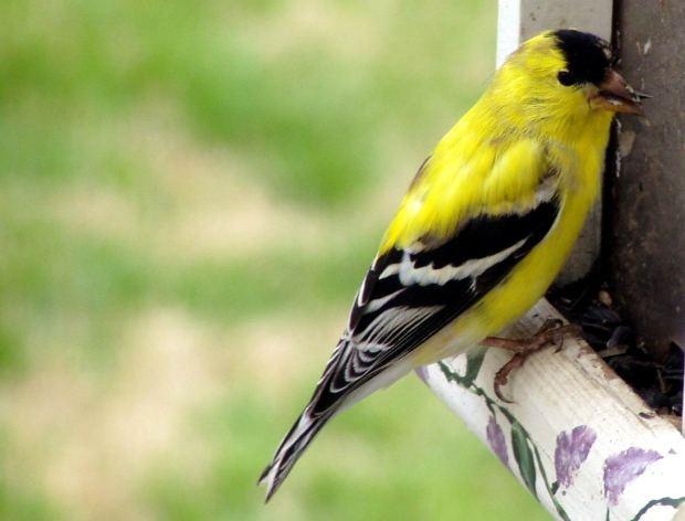 как поймать птицу щегла
