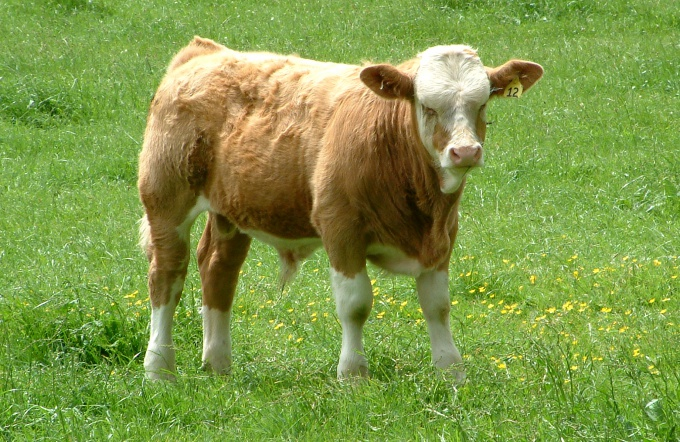 как вырастить корову