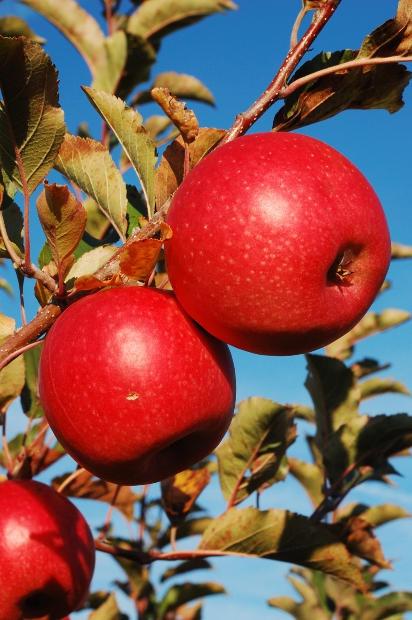 Как посадить фруктовое дерево