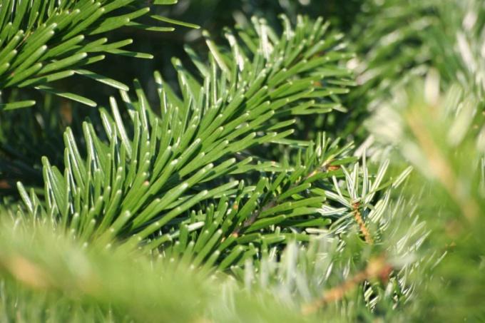 Как сохранить елку свежей