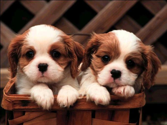 выбрать здорового щенка