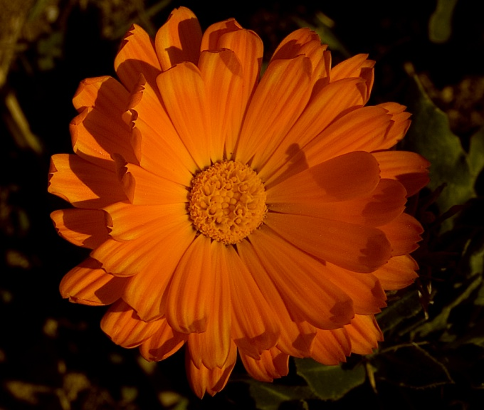 How to make calendula