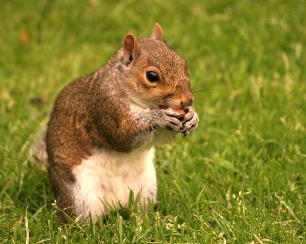 Как чистить кедровые орешки