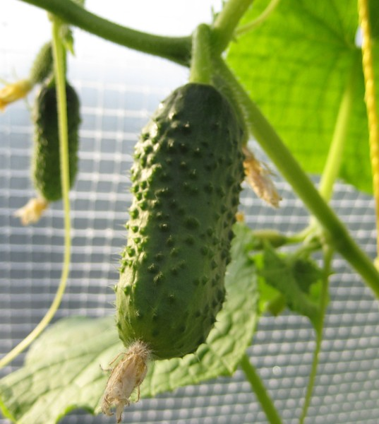 How to get your seeds from cucumbers