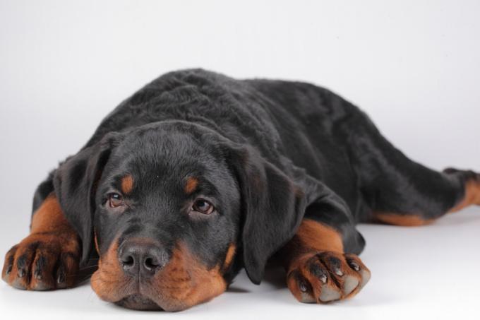 как лучше оставить щенка одного дома