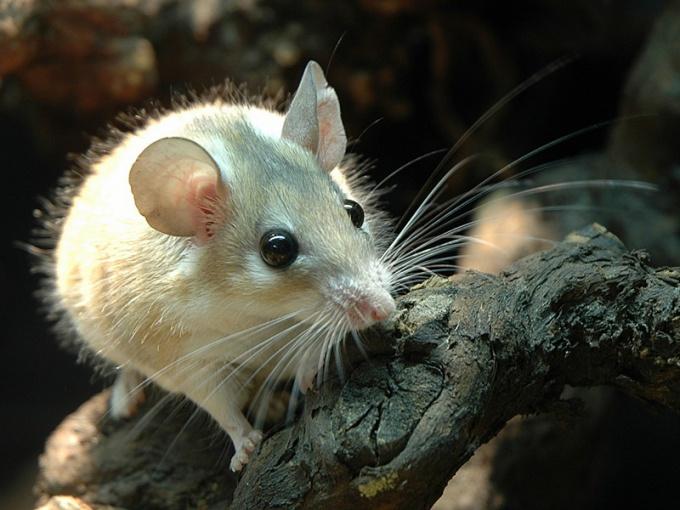 содержать мышь