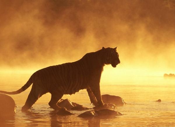 Как сделать тигра