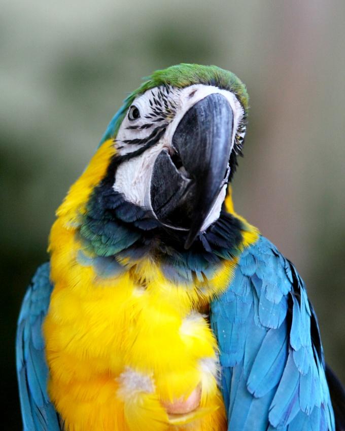 Как обрезать клюв у попугая