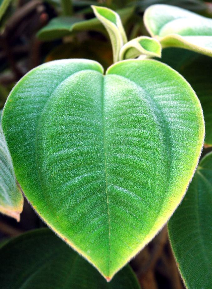 Как определить, осуществляет ли фотосинтез видоизмененный лист
