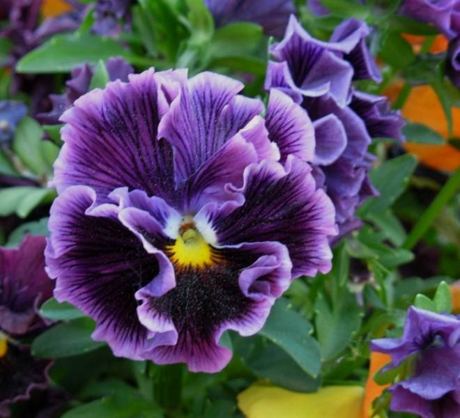 How to sow pansies